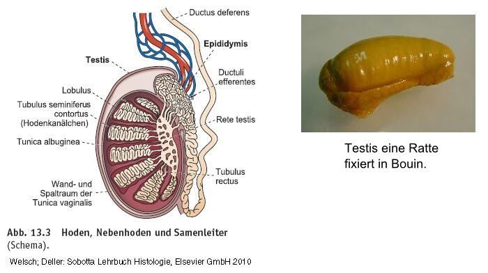 Nebenhoden- Epididymis || Med-koM